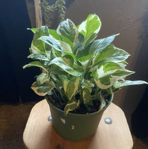 Pothos N'Joy plant photo by Kylie15 named Winston on Greg, the plant care app.