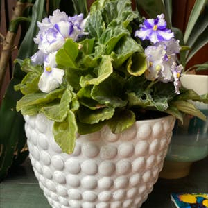 Rating of the plant African Violet named Queenie by Sharon on Greg, the plant care app