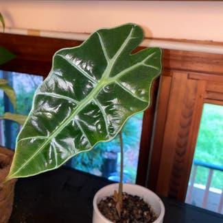 Alocasia Amazonica plant in Somewhere on Earth