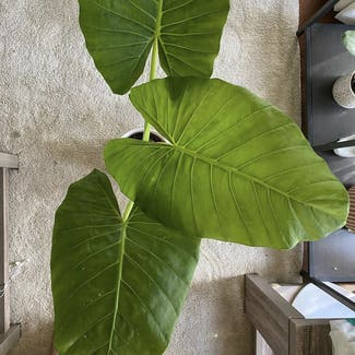 Giant Taro plant in Somewhere on Earth