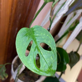 Window Leaf plant in Somewhere on Earth