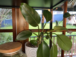 Blushing Philodendron plant in Somewhere on Earth