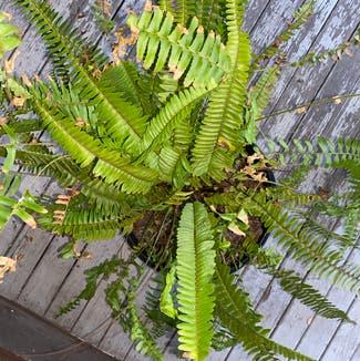 Erect Sword Fern plant in Somewhere on Earth