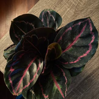 Rose Calathea plant in Somewhere on Earth