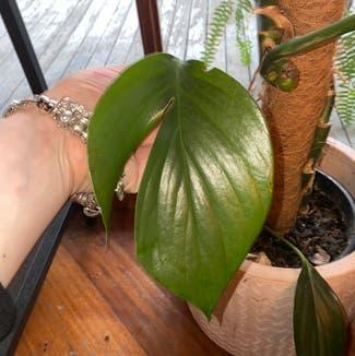 Rhaphidophora decursiva plant in Somewhere on Earth