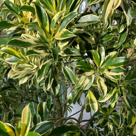 Photo of the plant species Fagraea ceilanica by Benjamin named Your plant on Greg, the plant care app