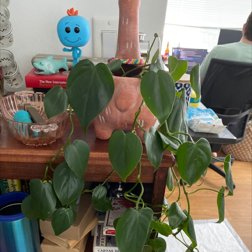 Heartleaf philodendron plant in New York, New York