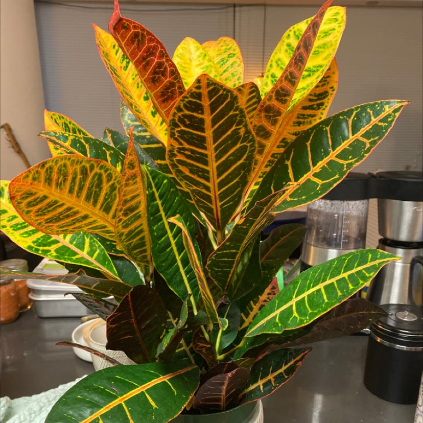 Gold Dust Croton plant in New York, New York