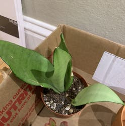 Silver Snake Plant plant
