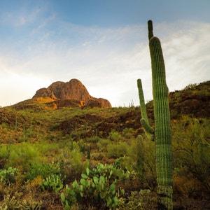 Plant care guide for Common Pear in Tucson, Arizona